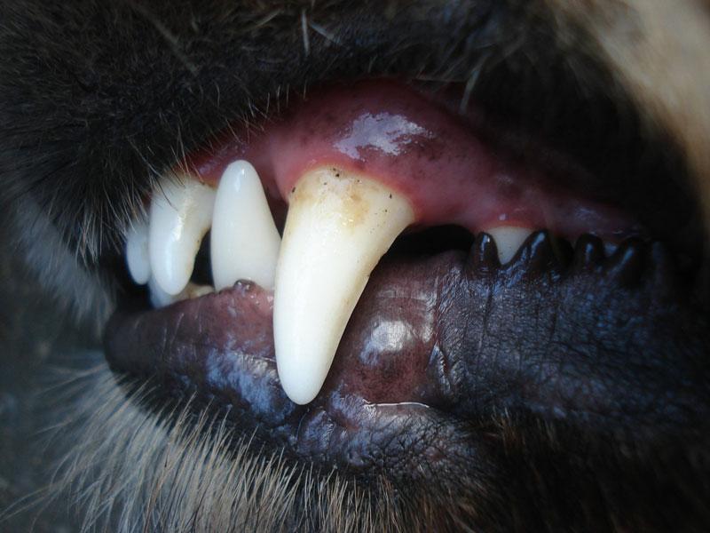 Zobni kamen psa