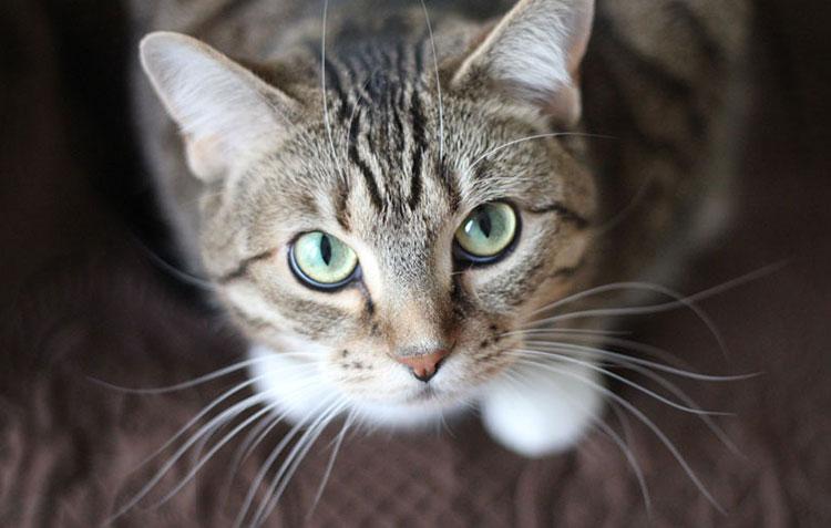 Kastracija mačke